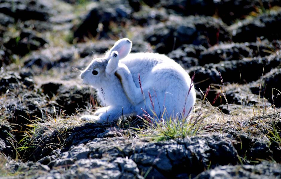 Polárnjoammil - Polarhare