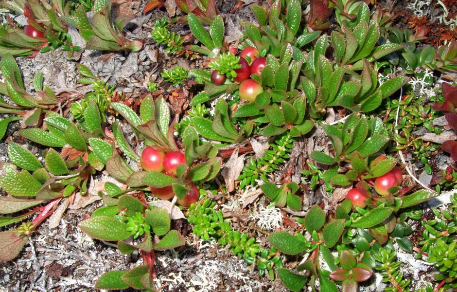Rievssatmuorji - Rypebær