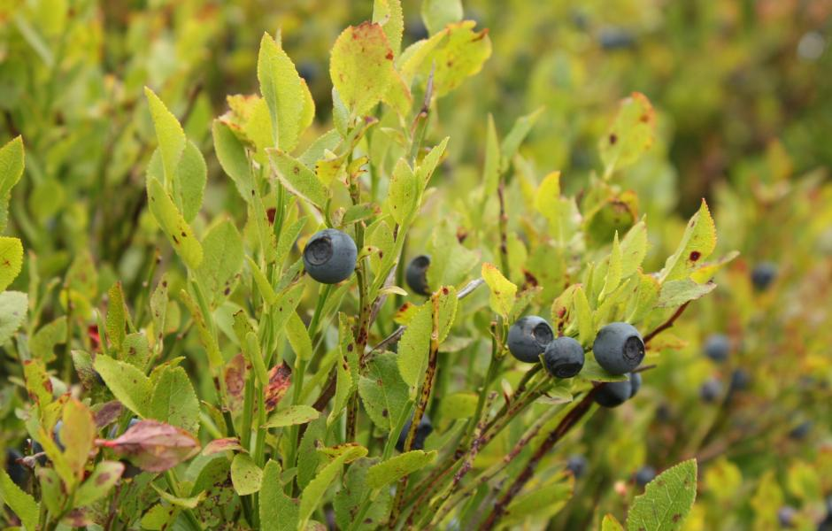 Sarrit - Blåbær