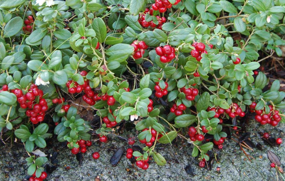Joŋat - Tyttebær